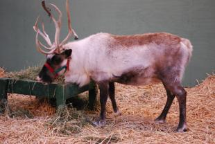Blitzen and Dasher visit Swanson's Nursery