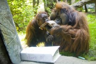 Back to School Orangutans Ryan Hawk.jpg