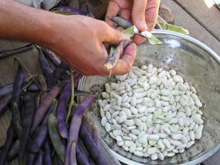 Shelling Beans.jpg