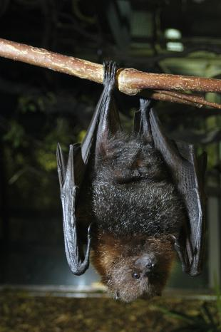 Rodrigues Fruit Bat Ryan Hawk.JPG