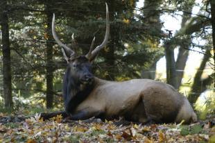 Elk Woody Ryan Hawk.JPG