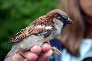 english sparrow - Ric Brewer.jpg