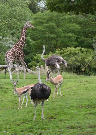 ostrich African Savanna Dennis Dow.jpg