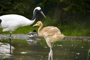 Red Crowned Crane Chick low res Hannah Letinich 6-10.JPG