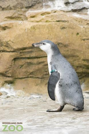 Penguin Chick Male Ryan Hawk 7-10.JPG