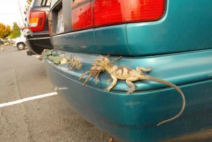 lizard bumper.jpg